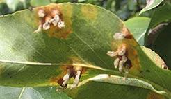 Blattkrankheit am Birnbaum