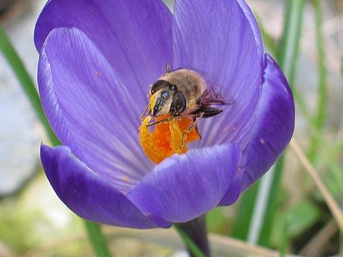 Biene oder  Fliege?