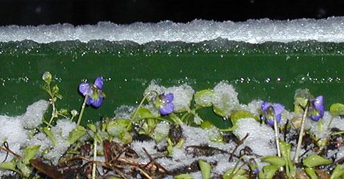 Veilchen im Schnee