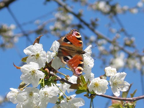 Schmetterling auf Kirschblüte
