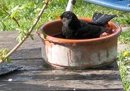 Amsel beim baden