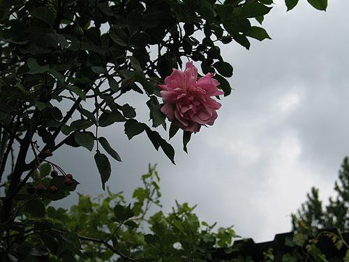Rose und Wolken