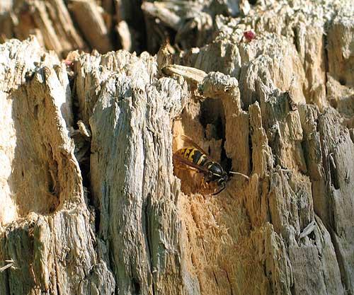 Wespe im Totholz