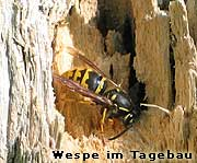 Wespe auf Totholz
