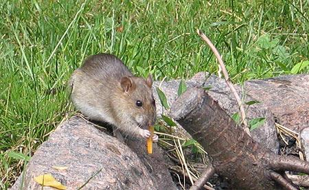fressende Ratte