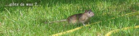 Ratte im Anmarsch