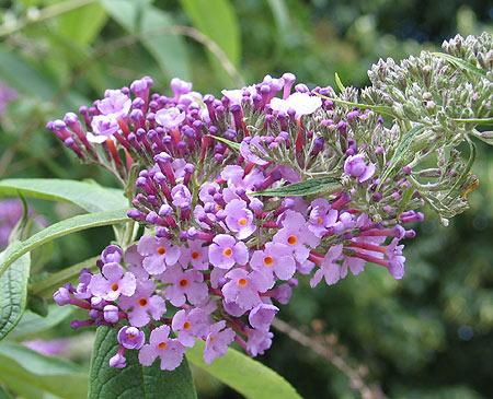 lila Blütendolde