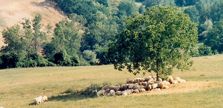 Schafe in der Toskana