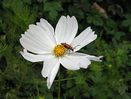 Cosmea mit Käfer