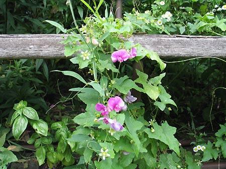 Schlingpflanzen an der Gartenbank