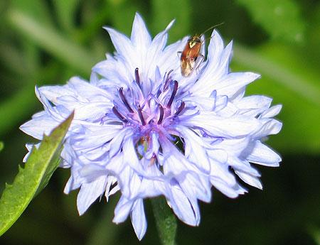 Käfer auf Kornblume