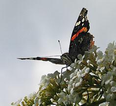 Schmetterling auf Buddleia
