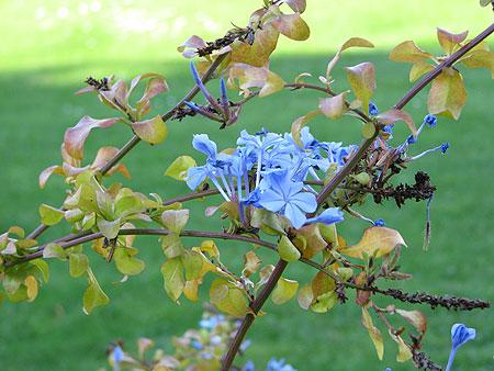 Blau blühender Busch