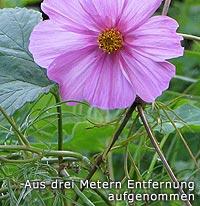 Blüte, aus drei Meter Entfernung