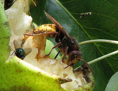 Hornisse auf angefressener Birne