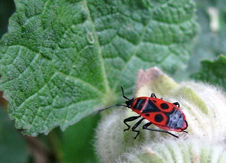 Käfer auf Stockrose