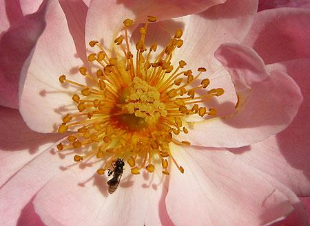 Rose mit Insekt