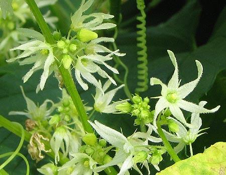 Blüten der Zaunrübe