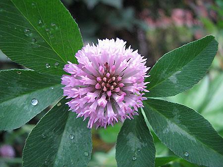 Rotklee-Blüte