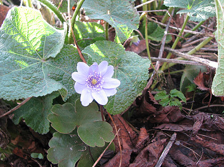 Leberblümchen unter Stockrose