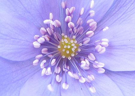kaukasisches Leberblümchen