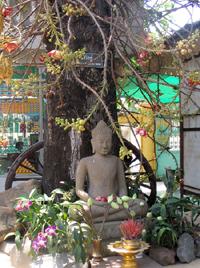 2006 Budha unter Kanonenkugelbaum