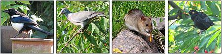 Elster, Taube, Ratte, Amsel