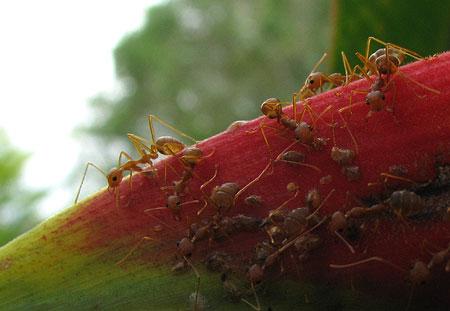 Ameisen auf Heliconia