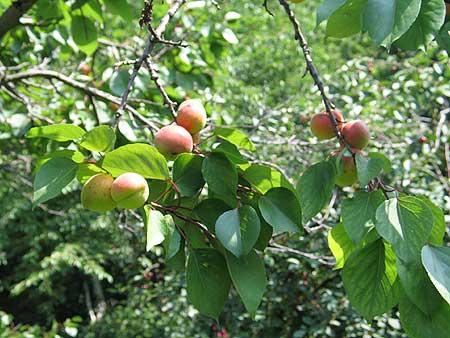 aprikose.jpg