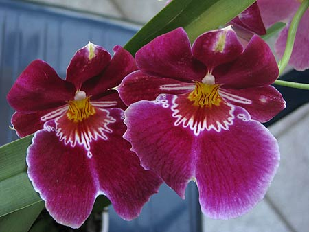 orchidaceae-miltoniopsis.jpg