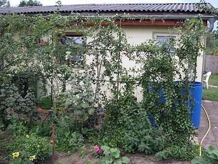 Laubengang aus Kletterpflanzen