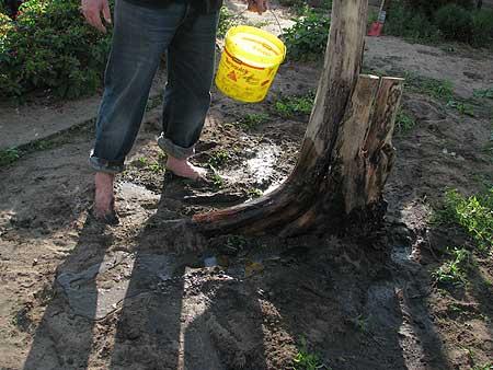 der alte Baumstumpf wird eingegraben