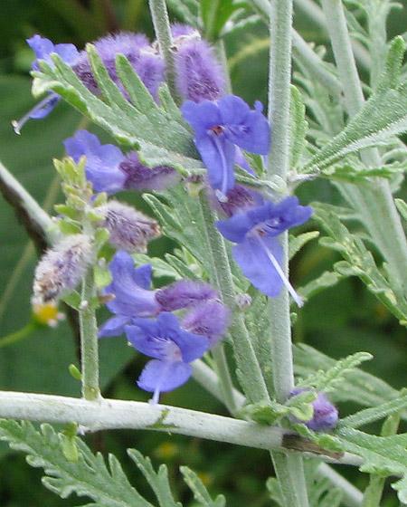 Blaurauten Blüte