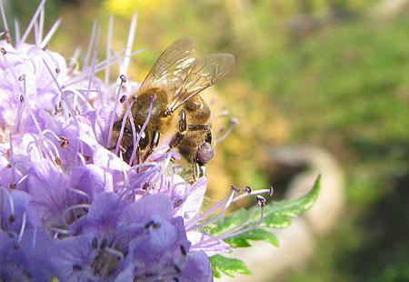 Novemberbiene auf Phacelia