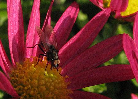 Fliege auf roter Aster