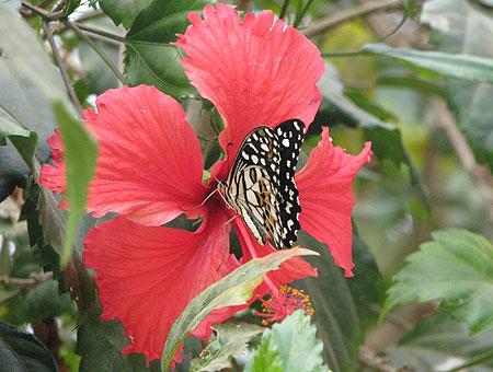 Schmetterling auf tropischem Hibiskus
