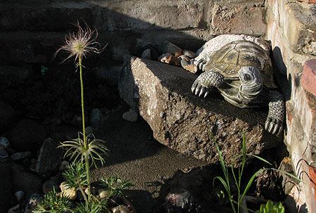 Küchenschelle und Schildkröte