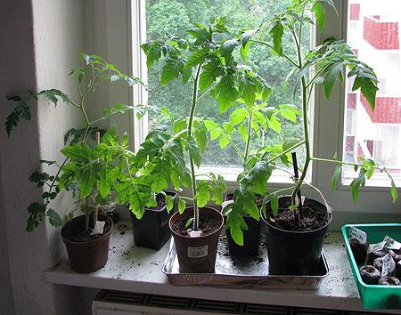 tomaten samen pflanzen tomaten aussaat anleitung f r die anzucht tomaten aus samen selber. Black Bedroom Furniture Sets. Home Design Ideas