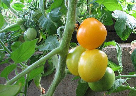 Zitro-Tomate