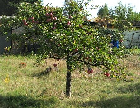 dieser Apfelbaum trägt 2010 nur 2 Früchte