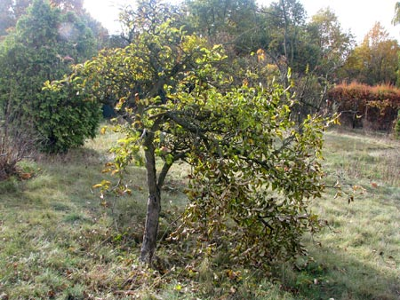 Apfelbaum, beraubt und verletzt