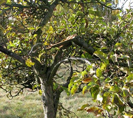 Apfelbaum schwer verletzt