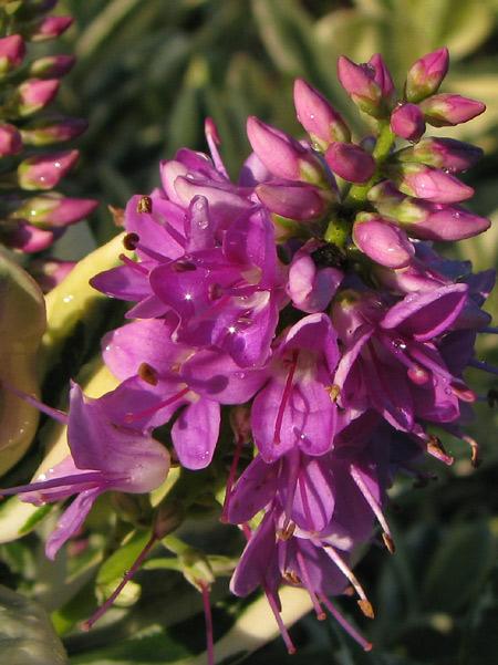 Hebeblüte