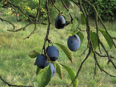 Zwetschgen - noch am Baum
