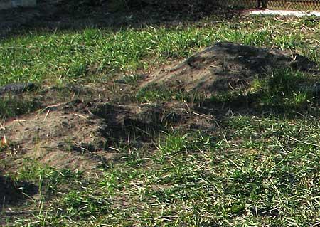 Quecke - sieht aus wie normales Gras...