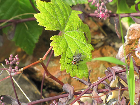 Fliege auf Weinblatt