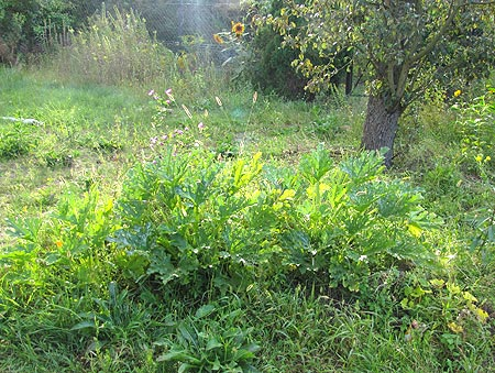 Hügelbeet mit Zucchini