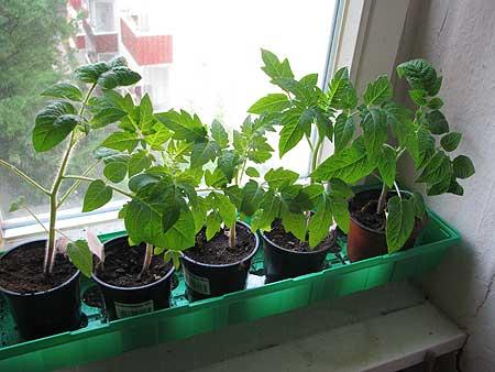 Tomaten Tiefer Setzen Das Wilde Gartenblog