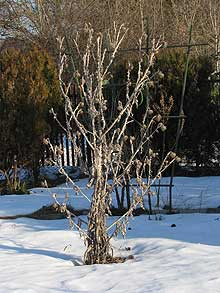 Eselsdistel im Winter