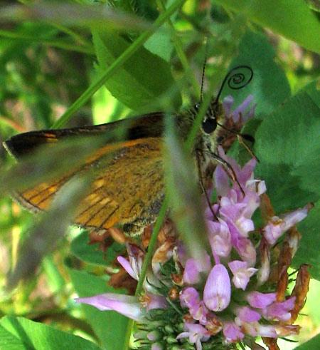 Schmetterlingsrüssel